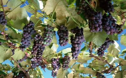 Szczepy, które trzeba znać. Pinot Noir