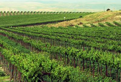 Jaki wpływ na jakość wina ma nachylenie terenu?