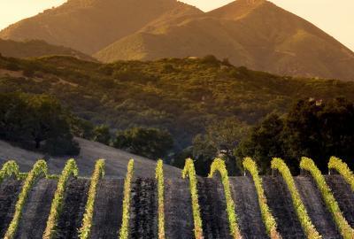 Kiedy odbywa się winobranie?