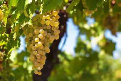 Szczepy, które trzeba znać: Pinotage